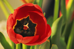 接近的花红色郁金香 图库摄影
