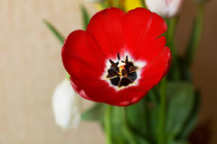 接近的花红色郁金香 免版税库存图片