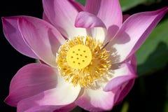 接近的花莲花粉红色 图库摄影