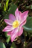 接近的花莲花粉红色 库存图片