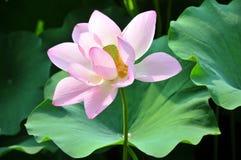 接近的花莲花粉红色 免版税库存照片