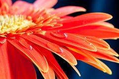 接近的花gebera红色 免版税库存照片