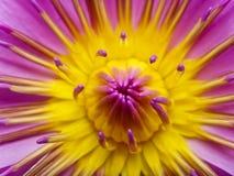 接近的莲花粉红色 库存照片