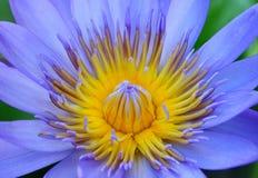 接近的莲花紫色 免版税库存照片