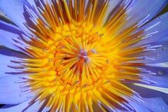 接近的莲花紫色 库存图片