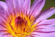 接近的莲花紫色 免版税图库摄影