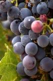 接近的葡萄上升葡萄园 库存图片