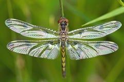 接近的蜻蜓被伸出翼 免版税库存照片