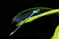 接近的蜻蜓遮蔽墙壁翼 蜻蜓的特写镜头照片坐板料 蜻蜓蓝色颜色在森林里本质上 飞行加法器 库存照片