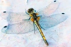 接近的蜻蜓遮蔽墙壁翼 免版税库存照片