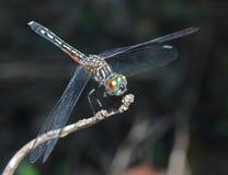 接近的蜻蜓 免版税库存图片