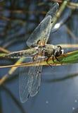 接近的蜻蜓 免版税库存照片