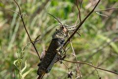 接近的观点的一只绿色乳草蝗虫 免版税库存图片