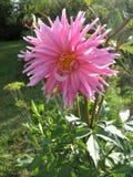 接近的观点的一朵白色桃红色花大丽花 库存照片