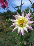 接近的观点的一朵白色桃红色花大丽花 免版税库存照片