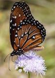 接近的观点的在一朵紫色野花的一只黑脉金斑蝶在草甸 免版税库存图片