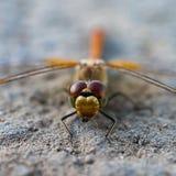 接近的观点的在准备好的地面上的一只蜻蜓攻击 免版税库存照片