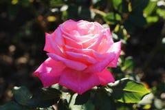 桃红色在庭院里上升了 免版税图库摄影