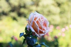 桃红色在庭院里上升了 库存照片