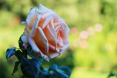 桃红色在庭院里上升了 库存图片