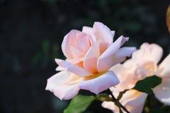 桃红色在庭院里上升了 免版税库存照片