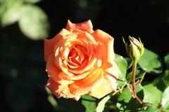 桔子在庭院里上升了 免版税库存照片