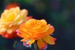 桔子在庭院里上升了 免版税库存图片