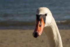 接近的观点的在wathing好奇地对照相机的海滩的一只天鹅 库存照片