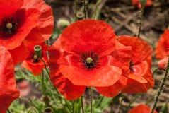 接近的观点的红色,明亮和开花的鸦片,备忘录的标志 免版税图库摄影