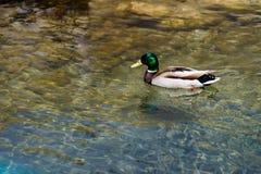 接近的观点的野鸭鸭子 库存照片