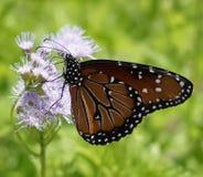 接近的观点的黑脉金斑蝶坐一朵紫色野花 免版税库存照片