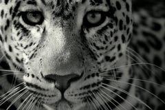 接近的豹子 免版税库存图片