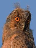 接近的轻的猫头鹰之子日落 免版税库存照片