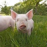 接近的逗人喜爱的小猪 库存图片