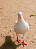 接近的重点题头鸽子 免版税库存图片