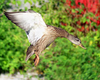接近的野鸭 免版税库存照片
