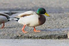 接近的野鸭 免版税库存图片