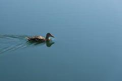 接近的野鸭 图库摄影