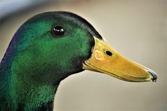 接近的野鸭 免版税图库摄影