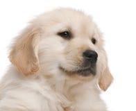 接近的金黄小狗猎犬 免版税库存图片