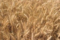 接近的金黄麦子 免版税图库摄影