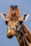 接近的长颈鹿纵向rothschild 库存照片