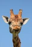 接近的长颈鹿 免版税库存图片