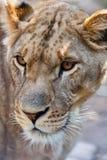接近的雌狮 免版税库存照片