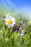接近的雏菊开花  免版税图库摄影