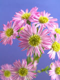 接近的雏菊紫色小  免版税库存图片