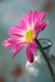 接近的雏菊花粉红色 免版税库存照片
