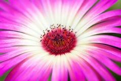 接近的雏菊花粉红色 免版税图库摄影