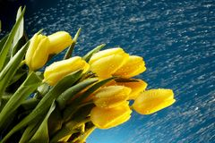接近的雨射击郁金香上升黄色 免版税库存照片