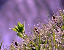 接近的露水小滴放牧叶子早晨理想的水 免版税库存图片
